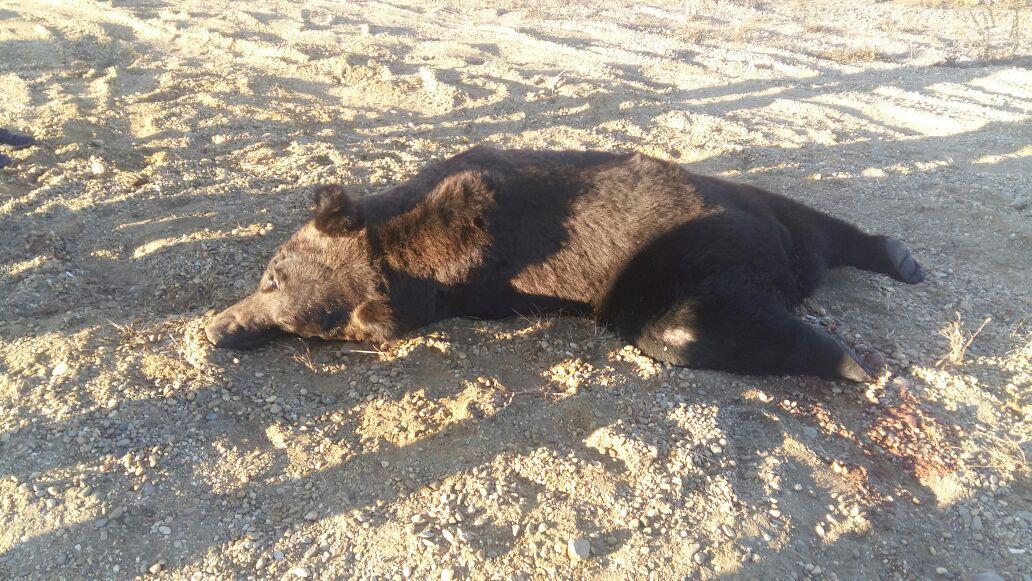 ВАмурской области автомобиль насмерть сбил медведя